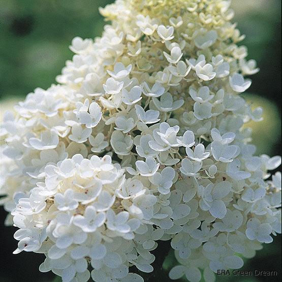 hydrangea paniculata 39 grandiflora 39 syrenhortensia era. Black Bedroom Furniture Sets. Home Design Ideas
